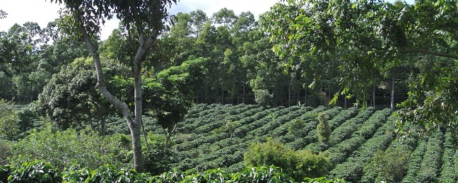 costa rican coffee plantation
